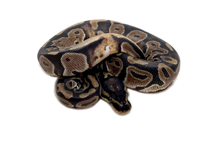 Picture of Female Classic Prob Het Pied Ball  Python