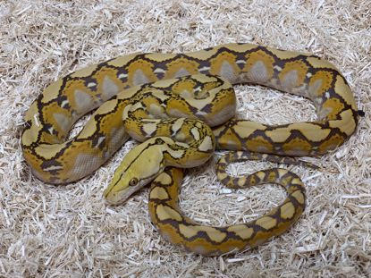 Picture of Orange Glow Reticulated Python