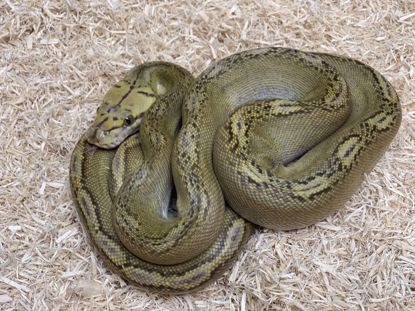 Picture of Male Phantom Motley Sunfire Reticulated Python