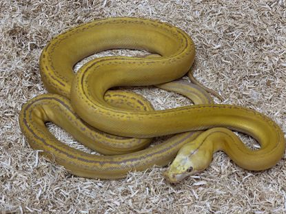 Picture of Jays Pick Female Orange Glow Goldenchild Tiger Reticulated Python